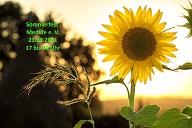 sunflower_kl